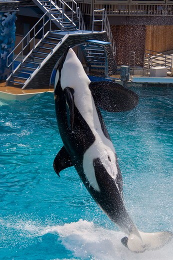 Killer Whale (Orcinus orca) jumping out of water while performing tricks with trainer during show at Sea World, near San Diego, California  NMR : Stock Photo