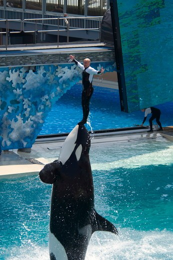 Stock Photo: 4179-26173 Killer Whale (Orcinus orca) jumping out of water while performing tricks with trainer during show at Sea World, near San Diego, California  NMR