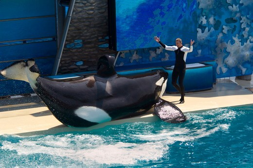 Trainer and Killer Whale (Orcinus orca) performing tricks during show at Sea World, near San Diego, California  NMR : Stock Photo