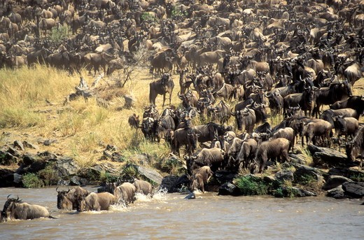Wildebeest (Connochaetes taurinus) migration, Masai Mara, Kenya.  In the process of migration the Wildebeest have to cross the Mara river to reach the new grass, as soon as this grass is eaten they once again recross the Mara river to travel back to the S : Stock Photo