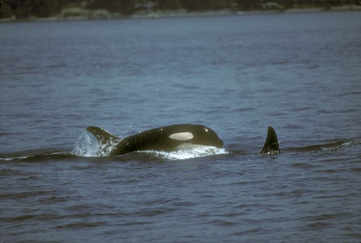 Stock Photo: 4179-26469 Killer Whale    Porpoising (Orcinus orca) San Juan Is./WA