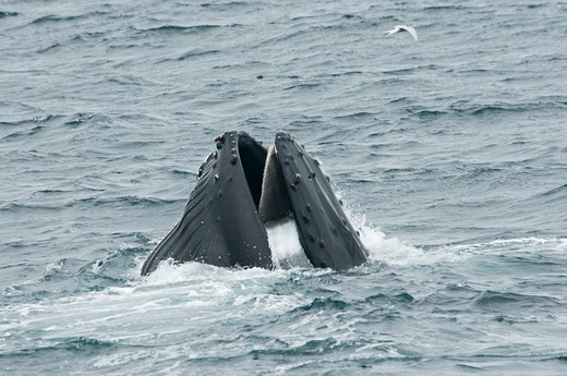 Stock Photo: 4179-26473 Humpback Whale feeding in Dallmann Bay, Antarctica