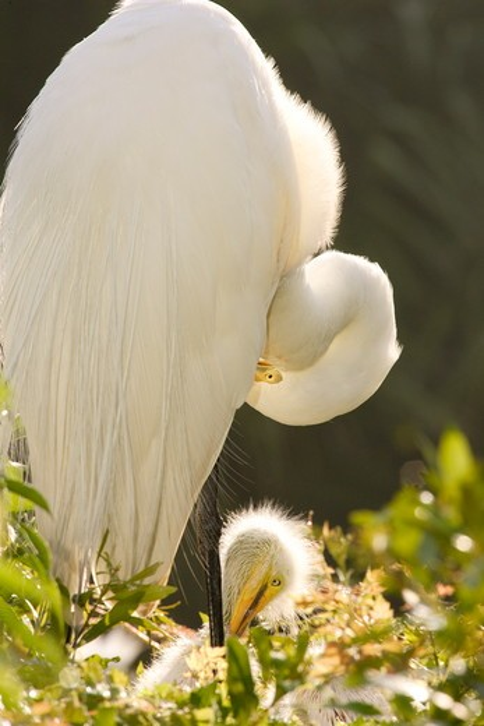 Stock Photo: 4179-2650 Great Egret preening (Ardea alba) on nest in elderberry Alligator farm rookery, St. Augustine, FL