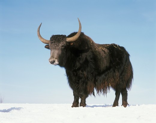 Stock Photo: 4179-26622 Yak (Bos mutus) Zoo/Germany