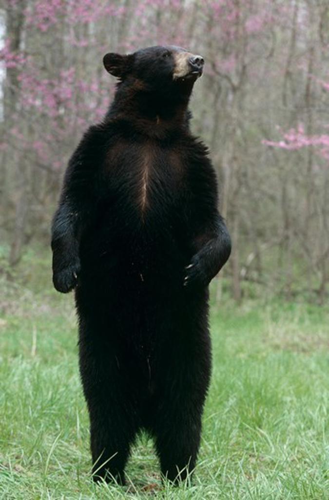 Black Bear standing upright (Ursus americanus) : Stock Photo