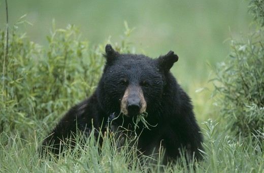 Stock Photo: 4179-26768 Black Bear eating Grass, male, Yellowstone NP, Wyoming (Ursus americanus)