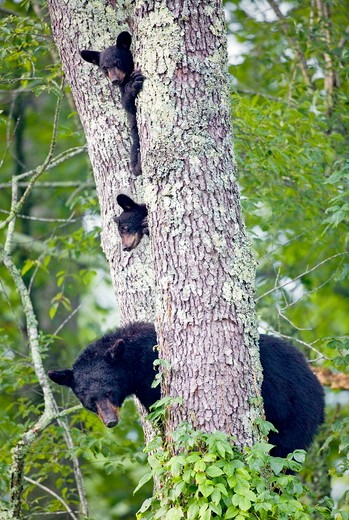 Stock Photo: 4179-26839 Black Bears (Ursus americanus) in black cherry tree, Cades Cove, Great Smoky Mts Natl Park, TN, Tennessee