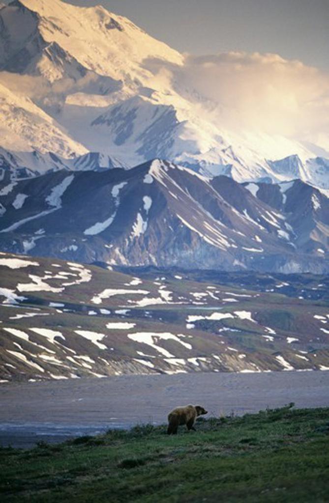 Alaskan Brown Bear (Ursus arctos) Denali NP, Alaska : Stock Photo