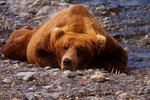 Stock Photo: 4179-26884 Alaskan Brown Bear sleeping (Ursus arctos), McNeil River, AK