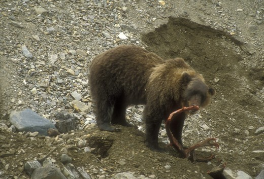 Stock Photo: 4179-27194 Grizzly Bear standing on its buried Caribou Kill