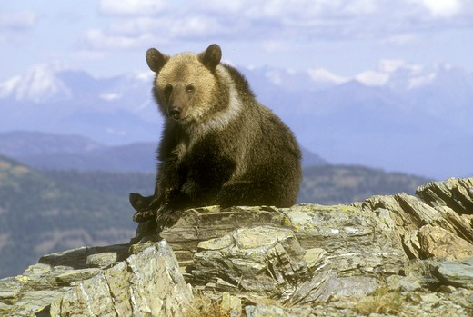 Stock Photo: 4179-27224 Grizlly Bear Cub (Ursus arctos) High Country Montana - Glacier NP