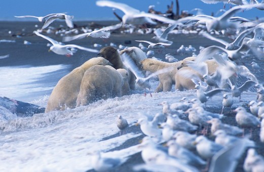 Stock Photo: 4179-27362 Polar Bears (Ursus maritimus), gather around Gray Whale carcass, surrounded by Glaucous Gulls, North Slope, Alaska.