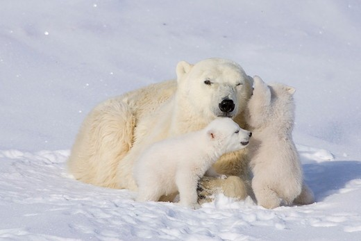 Stock Photo: 4179-27406 Polar Bears, Mothers and Babies, Manitoba, Canada