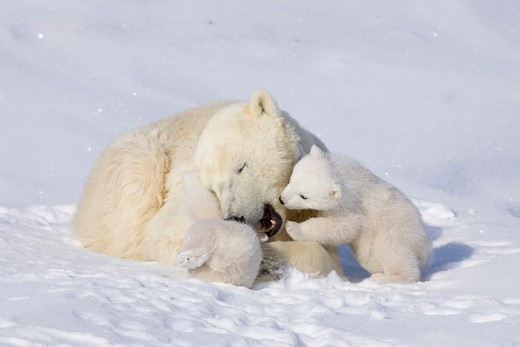 Stock Photo: 4179-27408 Polar Bears, Mothers and Babies, Manitoba, Canada