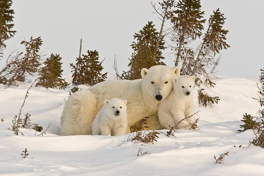 Stock Photo: 4179-27495 Polar Bears, Manitoba, Canada