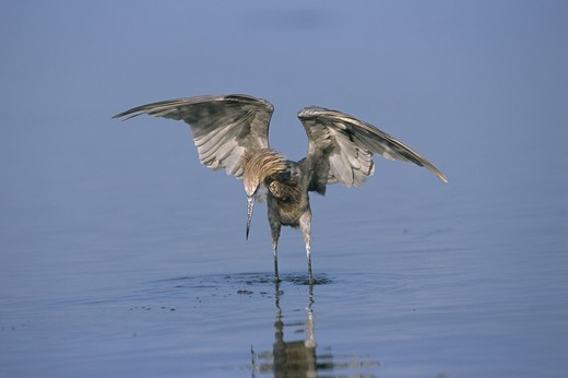 Reddish Egret chasing Minnows (Egretta rufescens), Florida : Stock Photo