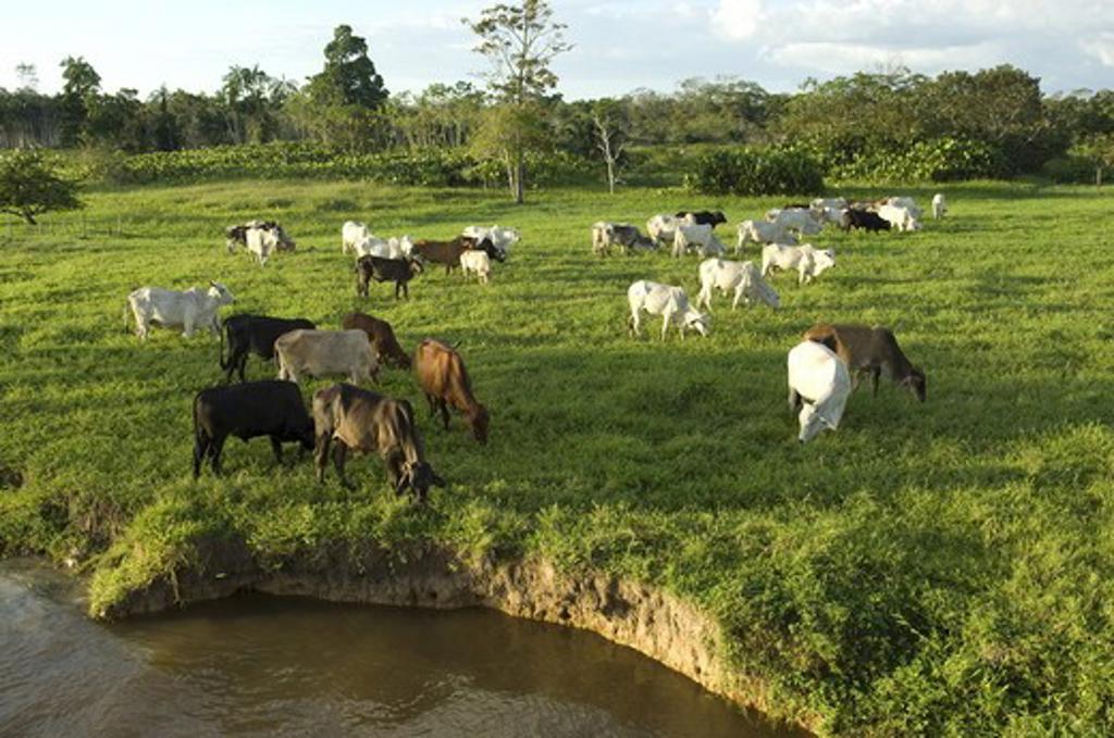 Stock Photo: 4179-27658 Cattle grazing on Amazon floodplain, bank erosion, Fazenda Jaguatirica (S 3? 53' 13.2' W 62? 3' 1.8') near Codaj?s, Rio Solim?es, Amazonas, Brazil 6-25-07