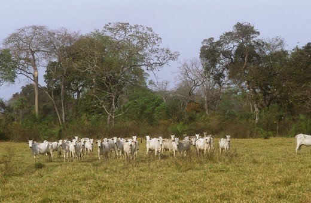 Zebu Cattle (Bos indicus) Pantanal, Brazil : Stock Photo