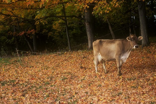 Brown Swiss Cow, Shelburne Farms, VT : Stock Photo