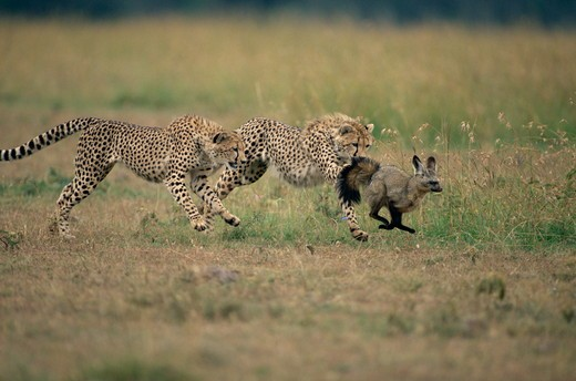 Two Cheetahs (Acinonyx jubatus) chasing Bat-eared Fox (Otocyon megalotis), Maasai Mara National Reserve, Kenya : Stock Photo