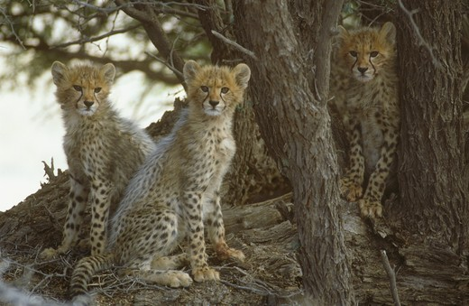 Cheetah Cubs (Acinonyx jubatus), Kalahari Gemsbok NP, Cape, RSA : Stock Photo