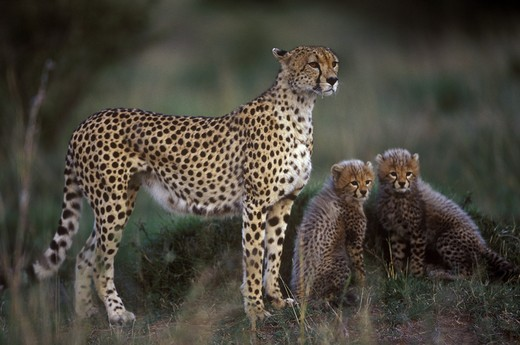 Stock Photo: 4179-28023 Cheetah with Young (Acinonyx jubatus), Maasai Mara, Kenya