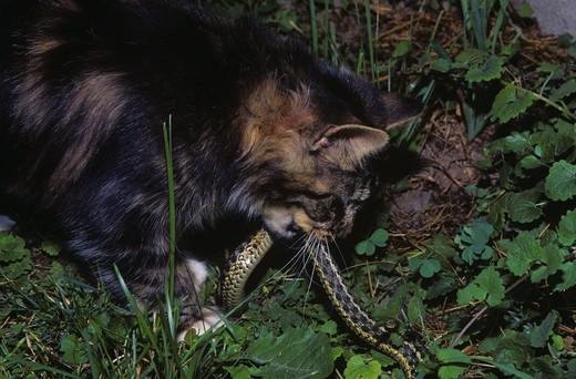 Stock Photo: 4179-28041 Maine Coon Cat with captured Garter Snake, PR