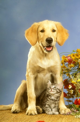 Stock Photo: 4179-28112 Kitten and Puppy: Maine Coon and Golden Retriever