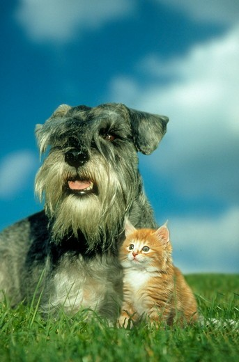 Stock Photo: 4179-28121 Norwegian Forest Kitten and Miniature Schnauzer, digital composite