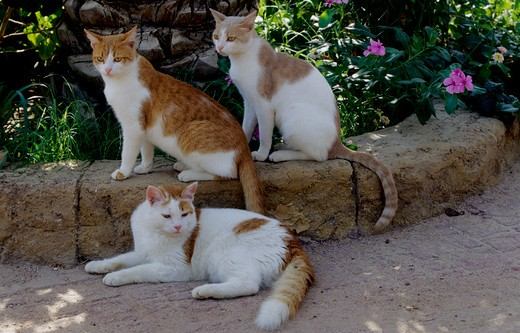 Stock Photo: 4179-28151 Three Domestic Cats laying/ sitting on Stone Wall
