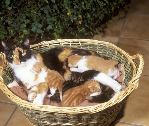 Stock Photo: 4179-28189 Cat with Young Kittens in Basket