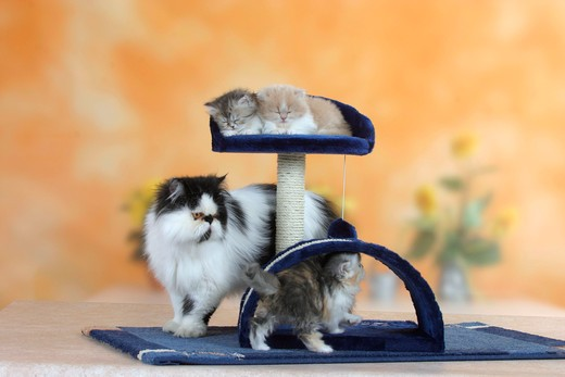 Stock Photo: 4179-28204 Persian Cat, with kittens, 6 weeks