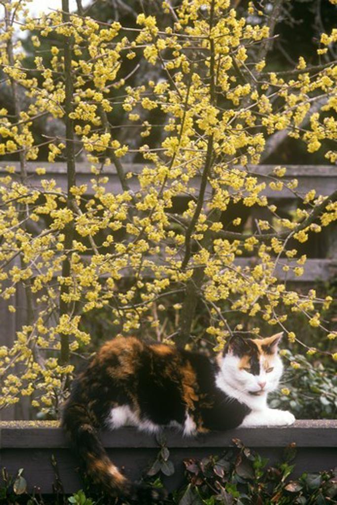 Stock Photo: 4179-28487 Tortoiseshell Cat on Railing in Garden with Cornelian Cherry in Bloom