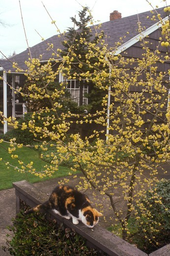 Stock Photo: 4179-28488 Tortoiseshell Cat on Railing in Garden with Cornelian Cherry in Bloom