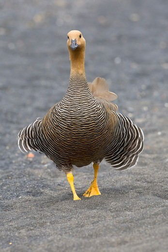 Upland Goose (Chloephaga picta), female, Torres del Paine National Park, southern Chile : Stock Photo