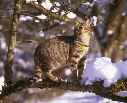 Stock Photo: 4179-28515 Cat in Tree with Snow