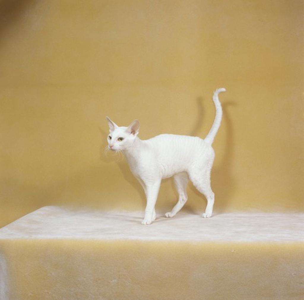 Stock Photo: 4179-28584 Devon Rex Cat, white