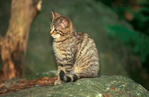 Stock Photo: 4179-28663 Young wild cat (Felis sylvestris)