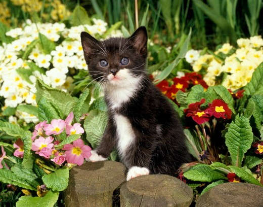 Stock Photo: 4179-28693 Kitten and Flowers