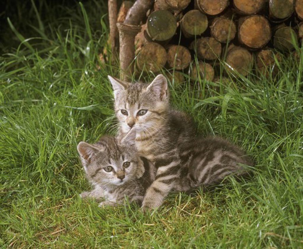 Stock Photo: 4179-28787 Kittens