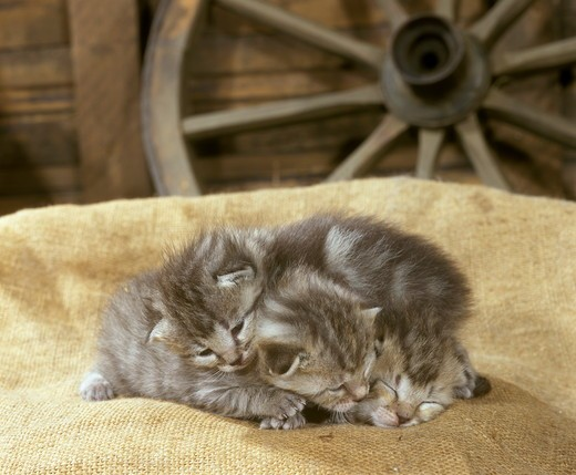 Stock Photo: 4179-28795 Kittens: 1 Week Old