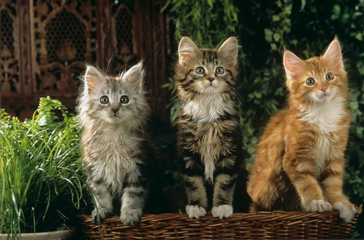 Stock Photo: 4179-28904 Maine Coon Kitten Trio