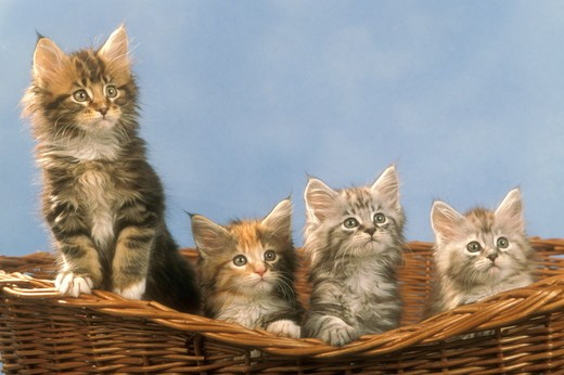 Stock Photo: 4179-28907 Maine Coon Kittens in Basket