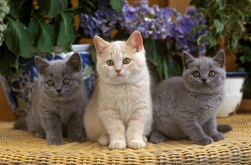Stock Photo: 4179-28908 Three British Shorthair Kittens