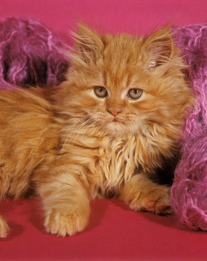 Young Persian Kitten with yarn : Stock Photo