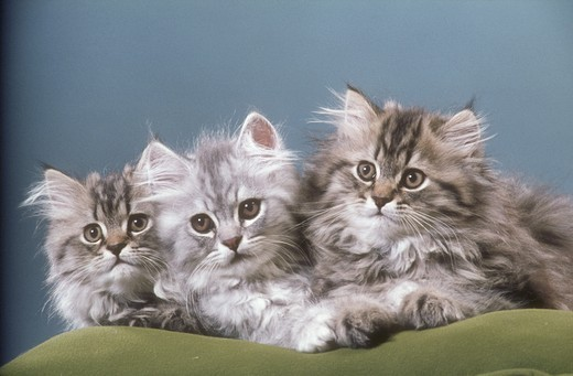 Stock Photo: 4179-28981 Persian Cats