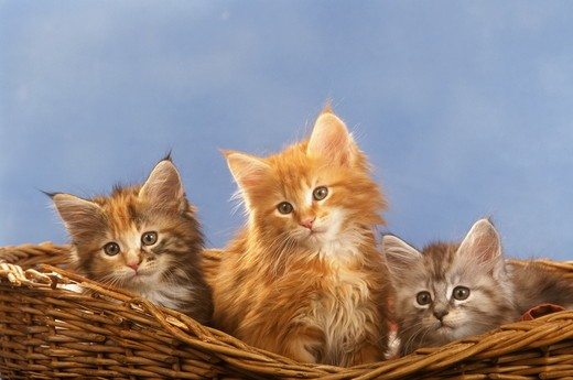 Maine Coon Kittens : Stock Photo