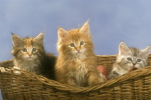 Maine Coon Kittens in basket : Stock Photo