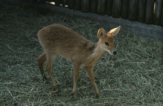 Stock Photo: 4179-29023 Chinese Water Deer, Cincinnatti Zoo, Ohio