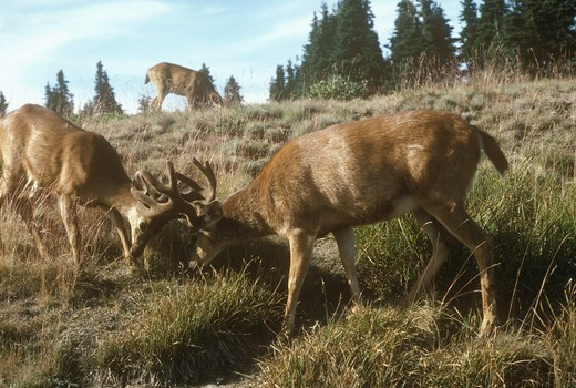 Stock Photo: 4179-29025 Columbian Blacktail Deer (Odocoileus hemionus columbianus) Sparring/Washington